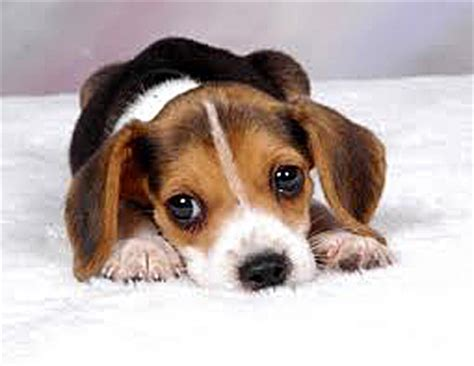 Dogs with Jobs: The Dogs of the Beagle Brigade | Baby